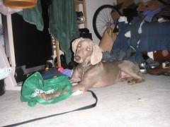 PICT0151 (elizabethys) Tags: puppy weimaraner dieter rijo