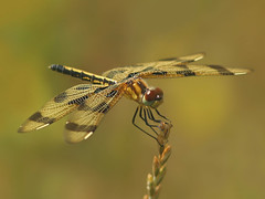 Happiness is.... (nature55) Tags: nature wisconsin ilovenature outdoors bravo dragonfly quality wildlife insects bugs odonata halloweenpennant specnature 408explore megashot