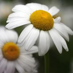 daisies (mike thomas) Tags: flower macro dof bokeh daisy canon70200f4l bokehsoniceaugust bokehsoniceaugust11