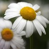 daisies (mike thomas) Tags: flower macro dof bokeh daisy canon70200f4l bokehsoniceaugust bokehsoniceaugust11