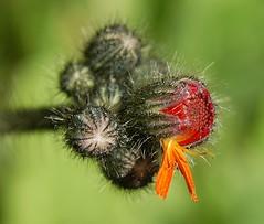 Little-by-Little (freebird4) Tags: uk flower macro d50 canal nikon shropshire orangehawkweed pilosellaaurantiaca fantasticflower abigfave freebird4 anawesomeshot macrofoted macromarvels synheiraciumaurantiacum
