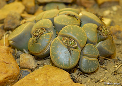 Lithops (living stones) (Martin_Heigan) Tags: camera flower macro nature digital southafrica living succulent nikon close desert martin stones lithops photograph d200 dslr arid lithop 60mmf28micro nikonstunninggallery heigan wsnbg mhsetsucculents