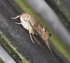 "Hummingbird Hawkmoth (macroglossum st(1) • <a style=""font-size:0.8em;"" href=""http://www.flickr.com/photos/57024565@N00/220818889/"" target=""_blank"">View on Flickr</a>"