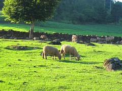 Ovelhas num final de tarde