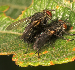 "Mating Tachinid flies • <a style=""font-size:0.8em;"" href=""http://www.flickr.com/photos/57024565@N00/237011276/"" target=""_blank"">View on Flickr</a>"