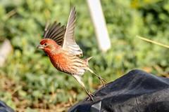 House Finch Take-off (backyardzoo) Tags: bird finch house