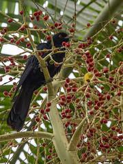Wildlife-114470 (Life is so Short) Tags: pacifickoel birds wildlife stormbird