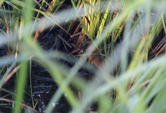 Virginia Rail (jd.willson) Tags: nature birds island bay virginia wildlife birding maine rail marsh jd penobscot willson islesboro jdwillson