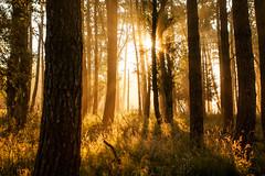 Into the woods (Stuart Stevenson) Tags: uk trees light summer mist grass fog sunrise woodland landscape photography golden scotland woods glow chilly rays backlit magical beams contrejour latesummer gbr goldenlight lanark filteredlight clydevalley southlanarkshire stuartstevenson appicoftheweek