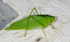 Really, I'm a leaf (scott_clark) Tags: macro green nature animal night bug insect wildlife charlottesville katydid tamron90mm em140 microcentrum anglewingkatydid