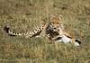 Cheetah (KerryBluett) Tags: africa cats kenya cheetah bigcats masaimara kicheche 1dmk1v maranorthconservancy 300f28mkii