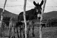 Prole (Anderson Pereira.13) Tags: rural amor burro e campo stio jumento cerca animais filhote me fazenda fotojornalismo cuidado fotodocumentrio