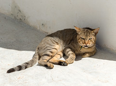 Cat in the shadow... (westrail) Tags: cat lens photographer lanzarote nikkor dslr d800 islascanarias kanarischeinseln bikon omot afs2470 forograf andreasberdan