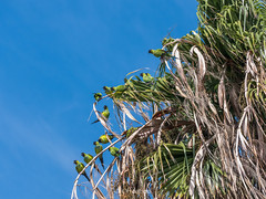 """Blend In"" (OffdaLipp) Tags: california leica blue sky tree green losangeles malibu palm palmtree parrots conure nanday nandayconure offdalipp"