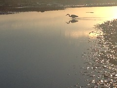 Heron fishing on the Forth (billyrosendale) Tags: sunset sea fish bird heron nature scotland fishing marine wildlife sealife coastal tidal