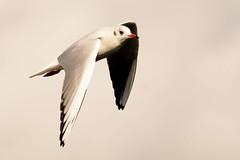 _DSC3273 Kokmeeuw : Mouette rieuse : Larus ridibundus : Lachmowe : Black-headed Gull