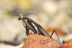 Mantis otoñal (Mª José Tarruella Rodenas) Tags: color macro hoja animal horizontal mantis arbol salinas amarillo campo otoño mirada collado suelo insecto mantodea invertebrado fondodesenfocado
