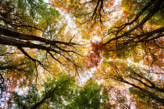 United colours of autumn (42/50) (Stuart Stevenson) Tags: uk autumn red green yellow woodland photography scotland colours pov lookingup pointofview autumnal beech orage clydevalley seasonchanging stuartstevenson appicoftheweek