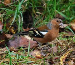 A wary Chaffinch (Halliwell_Michael ## More off than on this week #) Tags: autumn birds westyorkshire chaffinch brighouse 2015 coth cromwellbottom nikond40x calderhebblecanal coth5