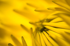 Flowers in light #65 - yellow voodo (lumofisk) Tags: 43mm 0mmf0 nikondf