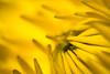 Flowers in light #65 - yellow voodo (lumofisk) Tags: 43mm 0mmf0 nikondf