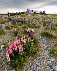 Lupin Season (CJ Dias Abeyesinghe) Tags: flowers sunset newzealand flower church evening outdoor dusk rocky overcast southisland laketekapo 5d lupin lupins blooming goodshepherd markiii ef1635mmf4lisusm