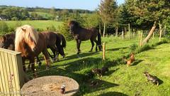 (Kenneth Gerlach) Tags: summer animals denmark outdoor sommer hund dk hest dyr gravhund ruhret islandskhest trs northdenmarkregion