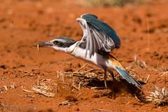 Red-backed Kingfishers WM-3933 (Henry.Cook) Tags: sand desert drought kingfisher queensland redbacked windorah todiramphuspyrrhopygius