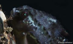 Caprellidae meets Cyclopterus Lumpus