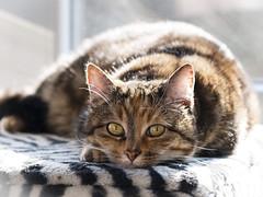 Los lunes al sol...Dina. (RosanaCalvo) Tags: dina animal animales gata gato invierno mascota sol tumbada
