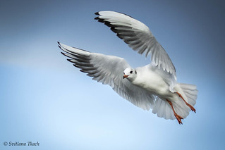 Larus ridibundus / Black-headed gull / Озёрная чайка / Hættemåge