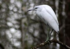 Anglų lietuvių žodynas. Žodis little blue heron reiškia maža mėlyna garnys lietuviškai.