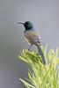 DSC_7422 (mylesm00re) Tags: m africa anthobaphesviolacea gantouwpass hottentotshollandnaturereserve nectariniidae orangebreastedsunbird oranjeborssuikerbekkie southafrica westerncape za bird