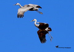 HEAVEN'S JETSETTERS (Aspenbreeze) Tags: sandhillcranes cranes wildbirds birds bird crane cranesinflight flyingcranes coloradowildlife wildlife sky nature rural bevzuerlein aspenbreeze moonandbackphotography