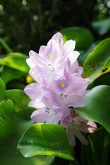 布袋蓮 (aelx911) Tags: a7 a7markii a7ii a7m2 sony flower nature plant taiwan taipei macro fe1635mm 1635mm