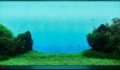 Underwater Garden (gullevek) Tags: animals aquarium fish fujixt1 fujifilm fujinonxf35mmf2rwr jp japan oshiage plants sumidaku tokyo tokyoto 動物 墨田区 墨田川水族館 押上 日本 東京 東京都 水族館 草木 魚 tōkyōto water 水