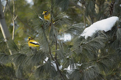 In The Pines (Lindaw9) Tags: white pine grosbeaks snow winter january birds