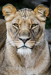 (montusurf) Tags: lion lioness fort worth zoo texas portrait face