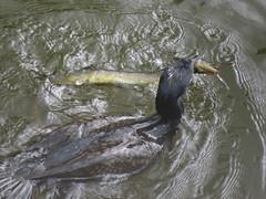 IMG_6708 (Marko_J_Aho) Tags: bath bird england greatcormorant merimetso phalacrocoraxcarbo somerset