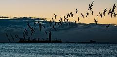 Birds in the Bay II-- explore (beachpeepsrus) Tags: birds beach blackskimmers water westcoast whiteisland clouds california