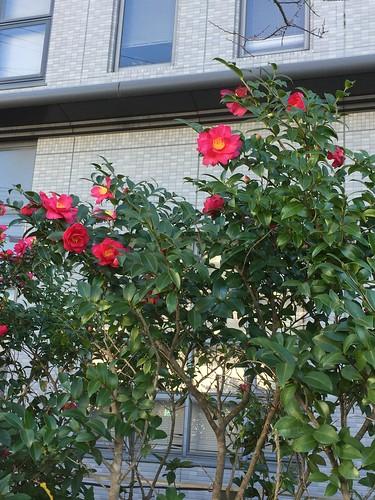 窓辺の山茶花