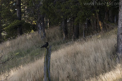 "Common Raven • <a style=""font-size:0.8em;"" href=""http://www.flickr.com/photos/63501323@N07/31746466183/"" target=""_blank"">View on Flickr</a>"