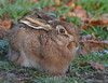 Brown Hare (Martial2010) Tags: brown hare angus glen canon