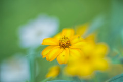 20160922_yard flowers....._5408ee (zoomclic) Tags: canon closeup colorful flower foliage flowers green garden yellow pink plant dof dreamy bokeh cosmos zinnia summer sunflower outdoors 7d macro dwarf nature ef85mmf12liiusm 12mmexttube