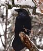 Common Raven (ebeckes) Tags: commonraven corvid bird raven