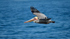 Flow With It (vgphotoz) Tags: vgphotoz pelican flowwithit gowithit ocean pacific nature wings blue water california