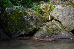 Ragondins (Joseph Trojani) Tags: ragondin animal animaux eau water nikon d7000 rat myocastor coypus castor