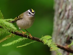 Golden-crowned Kinglet (Eric_Z) Tags: vancouver bc canada explored goldencrownedkinglet golden crown