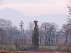 IMG_2486 winter storks (pinktigger) Tags: stork cigüeña storch cicogne ooievaar ciconiaciconia cicogna cegonha bird nature fagagna feagne friuli italy italia oasideiquadris animal outdoor nest