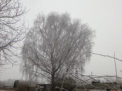 Was sitzt denn da oben im Baum? (fotoculus) Tags: deutschlandalemaniagermanyduitslandalemanhagermaniaallemagnetyskland hessen rödermark rheinmaingebiet urberach winter bäume trees arbol weide trauerweide